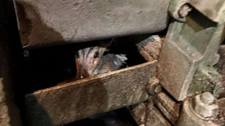 The muntjac deer trapped inside the water wheel.