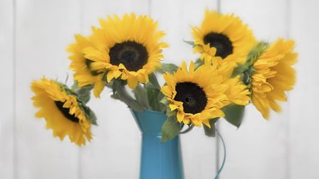 Sunflower stems are so tough and bristly that they can be difficult to arrange in a vase