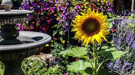 Some short varieties of sunflower are suitable for containers or patio gardens