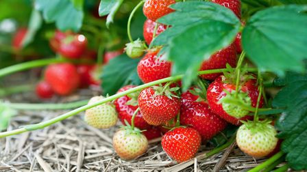 Now's the time to remove the leaves from strawberries and take runners for new plants