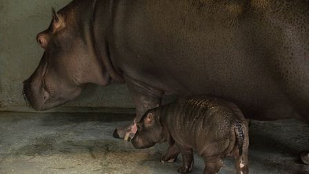 Baby hippo Hodor at ZSL Whipsnade Zoo - picture by Richard Hutchinson.