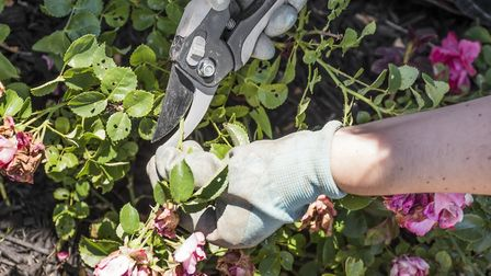 Deadheading your roses will make for stronger plants
