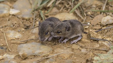 Baby shrews first outing - Geoff Clinton