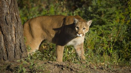 Image of a Mountain Lion
