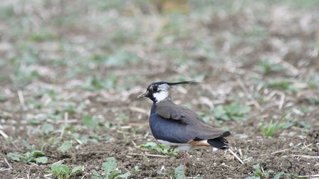 A lapwing - one of the wild bird species living alongside the A14. Photo: JAMES WALKER