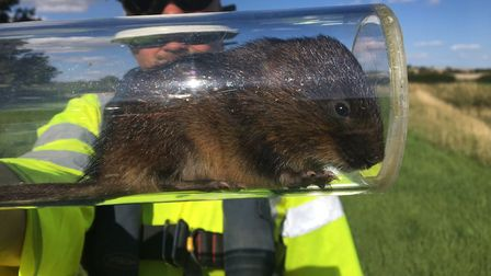 One of the ecologists at work releasing some of the water voles into their new habitat on the A14. P