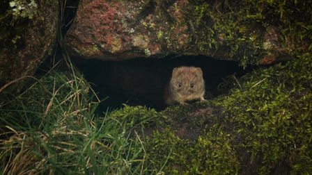 A bank vole, an example of Rebecca's work.