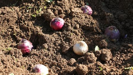 Now is the best time to get your spring bulbs in the garden