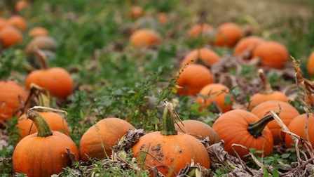 Pumpkins at Willows farm. Picture: Danny Loo