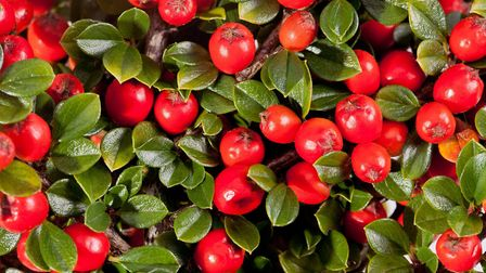 Cotoneaster berries [Thinkstock/ PA]