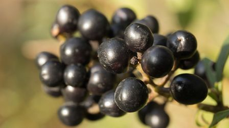 Black berries - not to be confused with blackberries [Thinkstock/ PA]