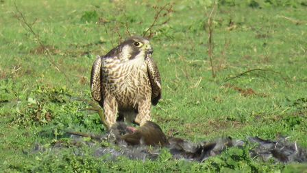 A juvenile peregrine with its prey - photo by Steve Blake.