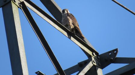 A juvenile peregrine on a pylon - photo by Steve Blake.