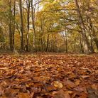 A colourful carpet of leaves at Ashridge