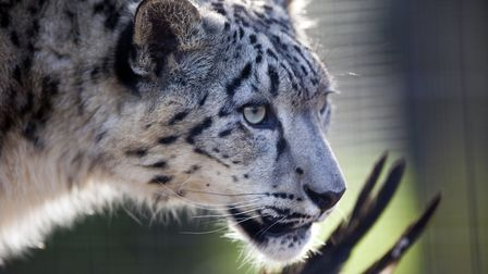 Snow Leopards of Leafy London was shot at the Big Cat Survival Trust in Codicote