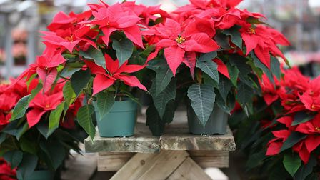 Poinsettias aren't your only houseplant option at this time of year