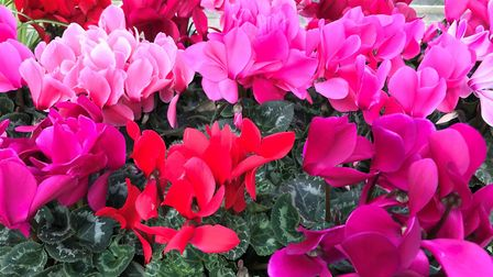 Cyclamen come in a huge range of colours [Hannah Stephenson/PA]