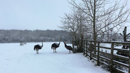 Ostrich and emu get used to the snow at Johnsons of Old Hurst. Picture: ARCHANT