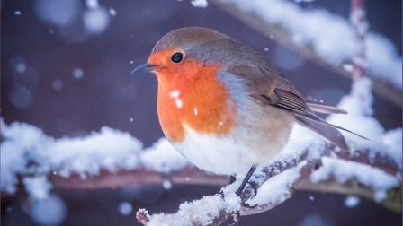 A robin in the snow. Photo: Steve Collins.