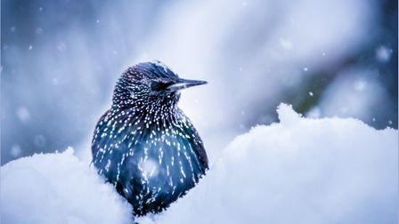 A starling in the snow. Photo: Steve Collins.