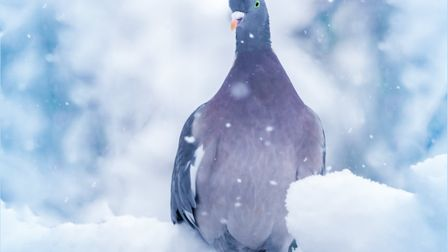 Wood pigeon in the snow. Photo: Steve Collins