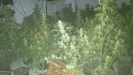 The cannabis plants discovered at an industrial unit in Ramsey. Picture: CAMBS POLICE