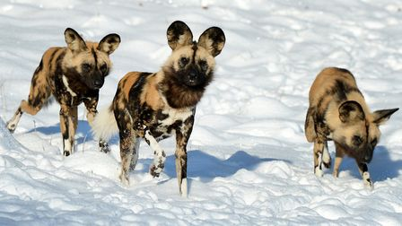 African hunting dogs in the snow at ZSL Whipsnade Zoo.