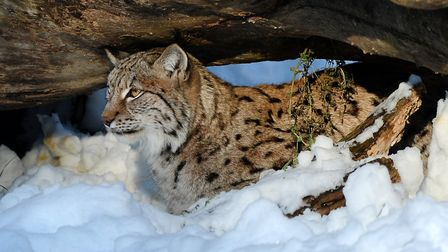 A Eurasian lynx in the snow at ZSL Whipsnade Zoo.