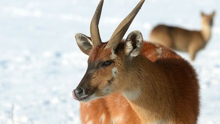 A sitatunga in the snow at ZSL Whipsnade Zoo.