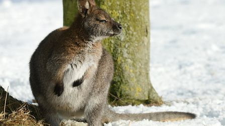 A wallaby in the snow at ZSL Whipsnade Zoo.