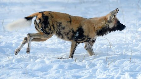 An African hunting dog in the snow at ZSL Whipsnade Zoo.