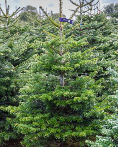 Nordmann firs are the most popular Christmas trees [Wyevale Garden Centres/PA]