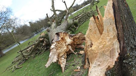 The tree which was blown down by strong winds in Verulamium park in 2015. Photo: Danny Loo,