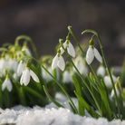 Snowdrop season is here again