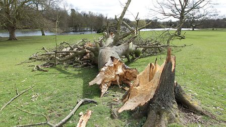 The tree which was blown down by a storm in Verulamium Park previously. Photo: Danny Loo.