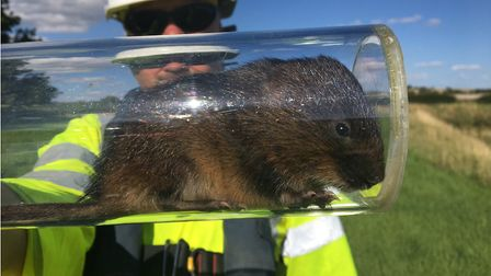 Ecologists have released some water voles into their new habitat.