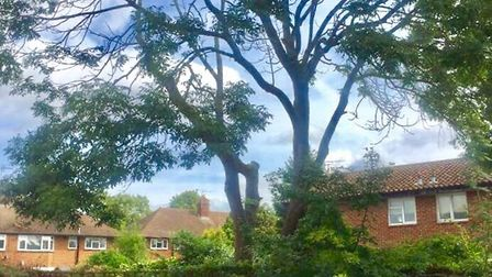 The ash tree before it was felled. Picture: Susan Salter