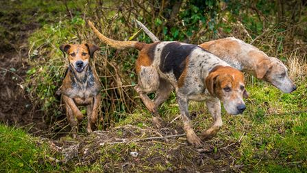A pack of hunting hounds following a trail.