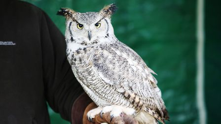 A bird of prey show at the Thriplow Daffodil Weekend. Picture: Danny Loo