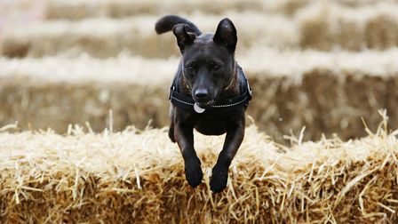 A dog competiting at the Thriplow Daffodil Weekend. Picture: Danny Loo