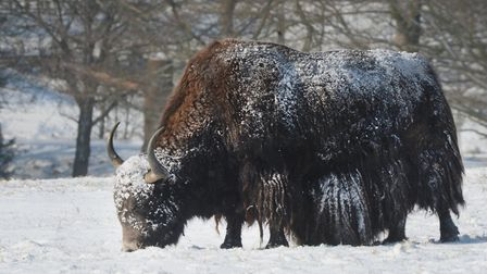 Yak in the snow. Picture: ZSL