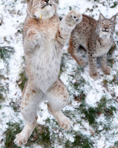 Lynx in the snow. Picture: ZSL