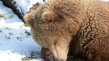 Bear in the snow. Picture: ZSL