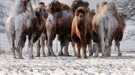 Camels in the snow. Picture: ZSL