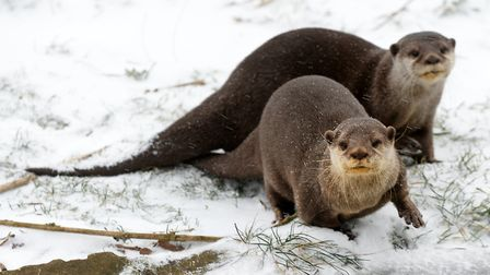 Otters in the snow. Picture: ZSL