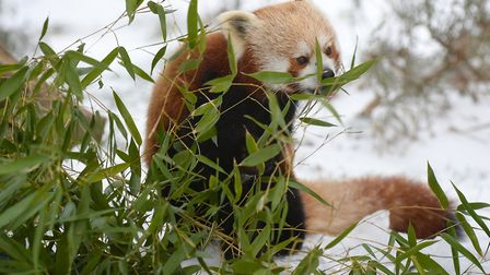Red panda iin the snow. Picture: ZSL