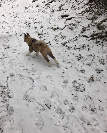 14-week-old Ziggy in St Albans enjoying the snow for the first time. Picture: Lorna Dedrick.