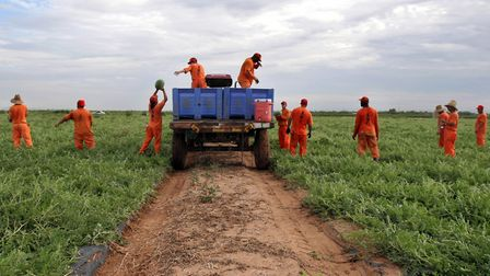 Low security inmates from the Picacho State Prison unit work at LBJ Farms pitching watermelons for $