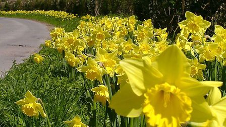 Daffodils lining the roads in Thriplow.