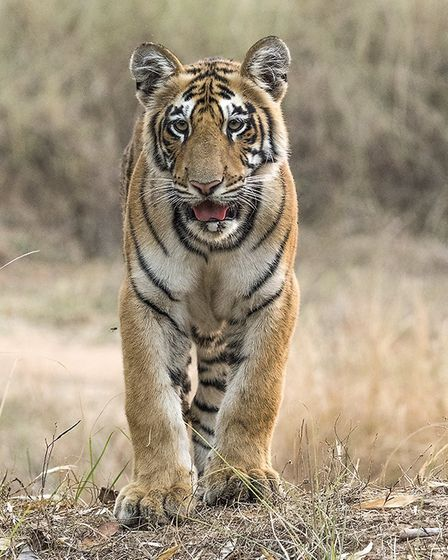'Male Tiger Cub' by Peter Whitehead.